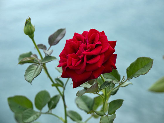 red rose in a rose garden